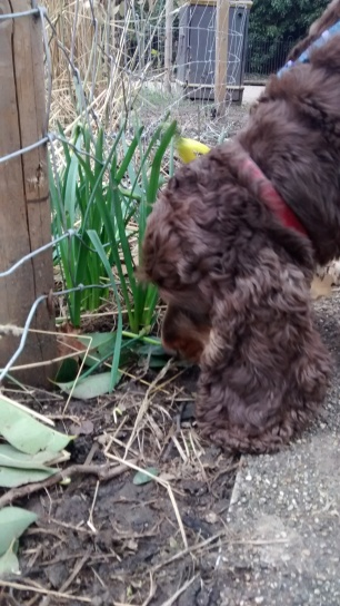 Ollie, the Cocker Spaniel, having a fun dog Walking