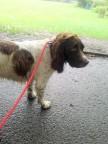 Freddie, our English Springer Spaniel, ready for dog Walking
