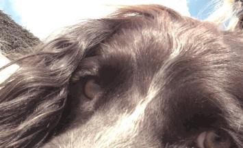 Freddie, our English Springer Spaniel