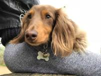 Rupert, the long haired miniature Dachshund for his dog Day Care, relaxing