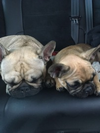 Lola and half-sister Bonnie, the French Bulldogs, on travel adventures