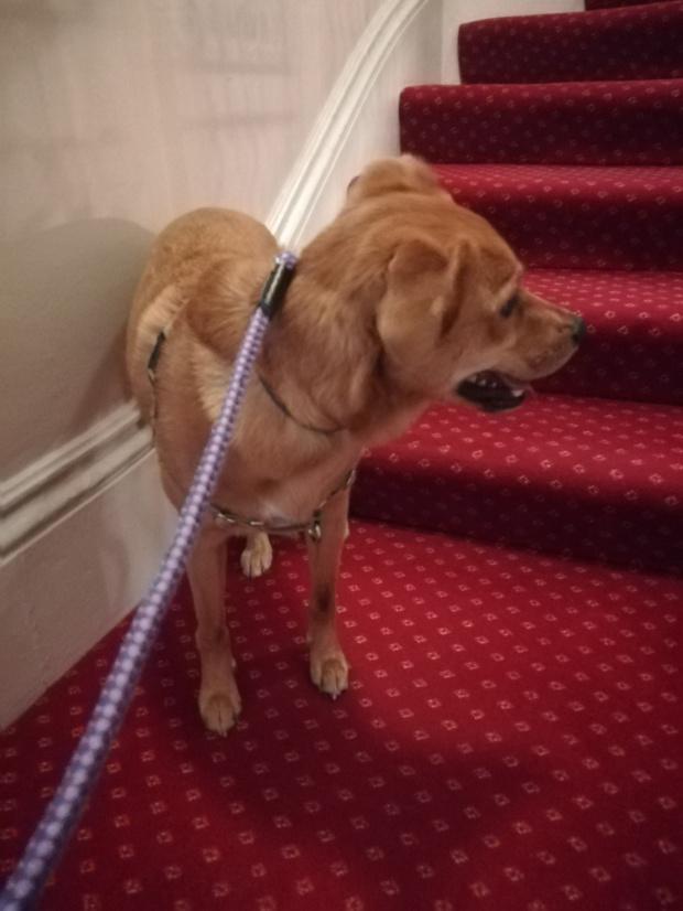 Georgie, the crossbreed Golden Retriever/Labrador, ready for her Day Care