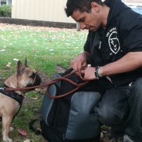 Lola, the French Bulldog, keen to start playing during her dog Day Care