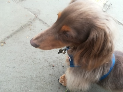 Rupert, the long haired miniature Dachshund for his dog Day Care
