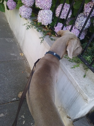 Max, our Weimaraner, during his dog Walking
