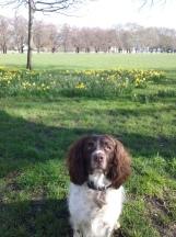Freddie, our English Springer Spaniel, posing during his dog Walking