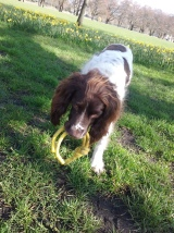 Freddie, our English Springer Spaniel, playing nicely during his dog Walking