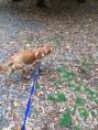Georgie, the crossbreed Golden Retriever/Labrador having fun outdoors during her dog Day Care