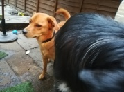Georgie, the crossbreed Golden Retriever/Labrador making friends during her dog Day Care
