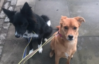 Chester, the Border Collie, posing with one of his best friend Georgie, during his dog Stay-and-Care boarding