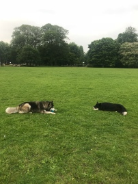 Chester, the Border Collie, during his dog Stay-and-Care boarding, playing with friends