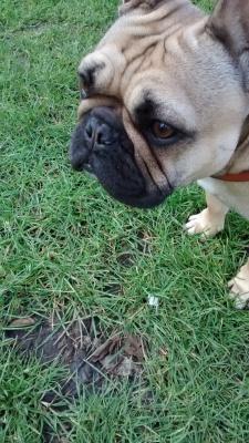 Lola, the French Bulldog, during her dog Walking