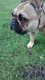 Lola, the French Bulldog, having fun times during her dog Walking