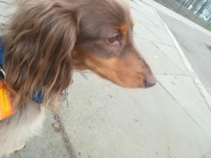 Rupert, the miniature long-haired Dachshund, during his dog Day Care