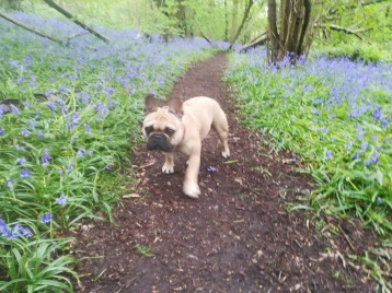 Lola, the French Bulldog, enjoying the fresh air during her dog Walking
