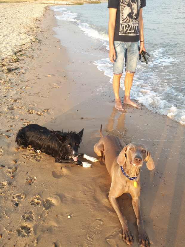 Chester, the Border Collie, and Max, the Weimaraner, taking days out by the sea during their Stay-and-Care boarding!