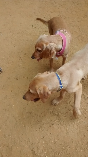 Whisky, our Labrador, and his new friend Rachael out and about, for his dog Day Care