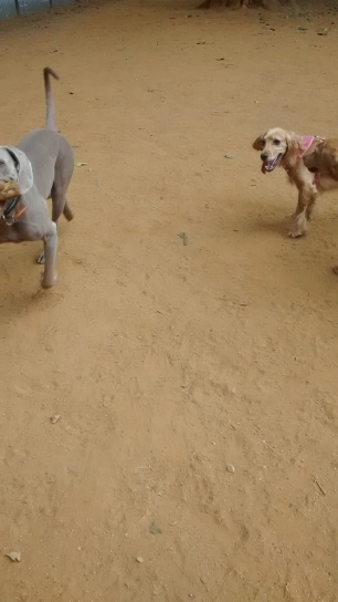 Max, our Weimaraner, and a friend called Rachael, out and about, for his dog Day Care