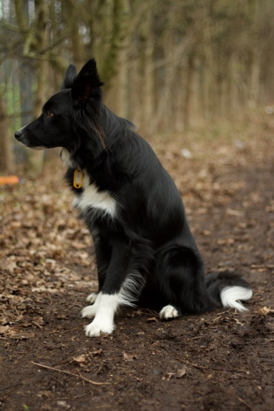 Chester, the Border Collie, having a sit during his dog Stay-and-Care