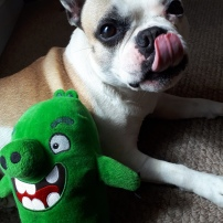 Millie, our French Bulldog, during her dog Day Care, with her monster toy