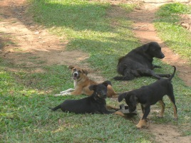 Dogs enjoying the Costa Rican weather