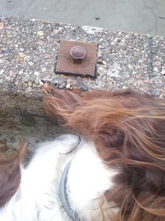 Freddie, our English Springer Spaniel, for his dog Walking