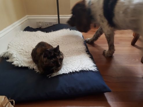 Freddie, our English Springer Spaniel, with his friend Coco the cat at hom, getting ready for his dog Walking