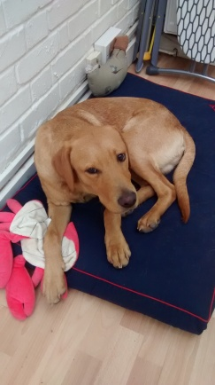 Whisky, our Labrador puppy, during his dog Day Care, here in his brand new bed!