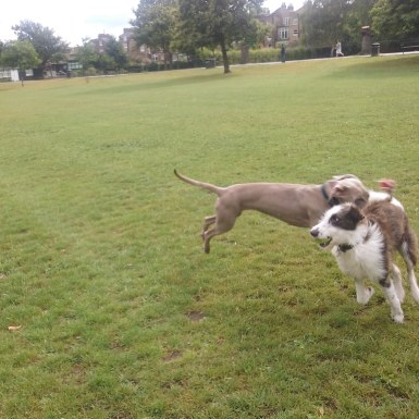 Max, our Weimaraner, playing during his dog Day Care!