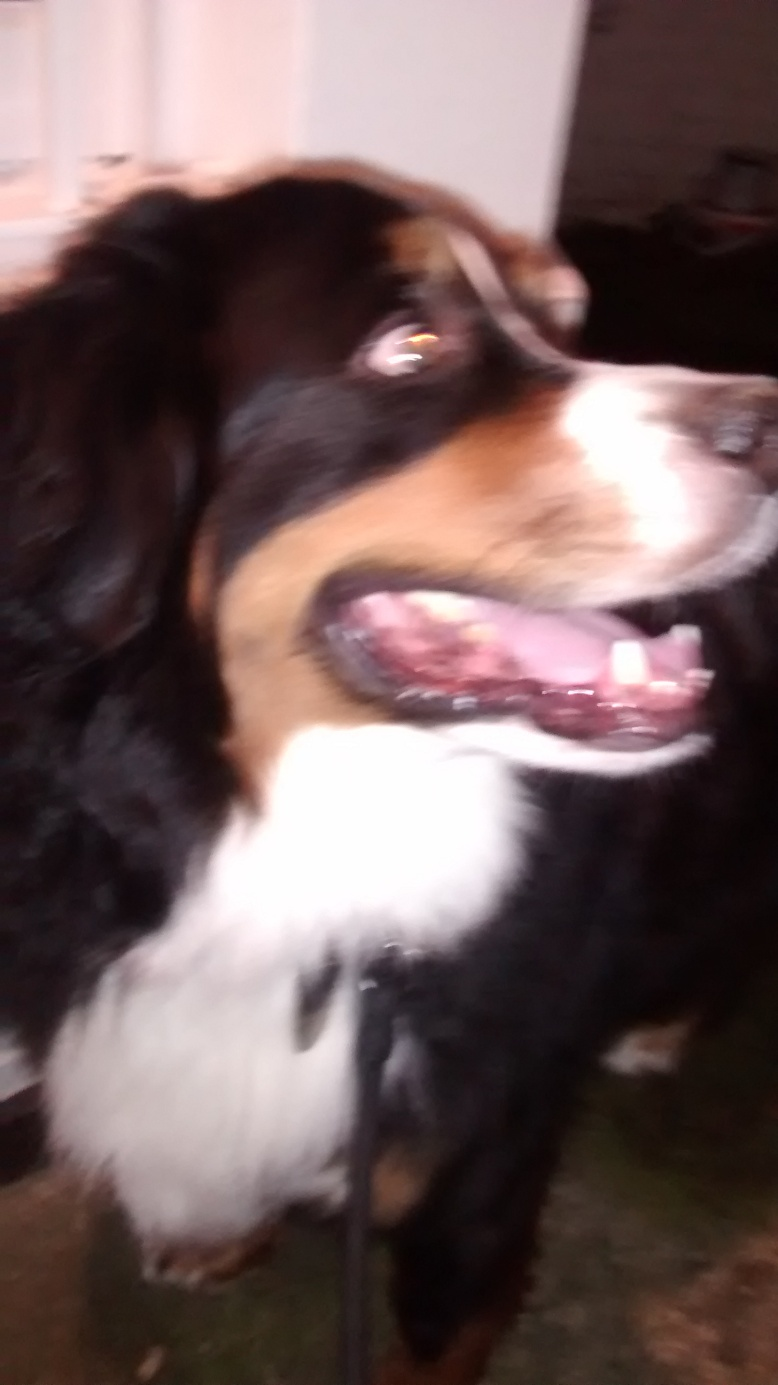 Winston, the Bernese Mountain Dog, for his dog Walking!