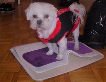 Maltese Happy on his rug!