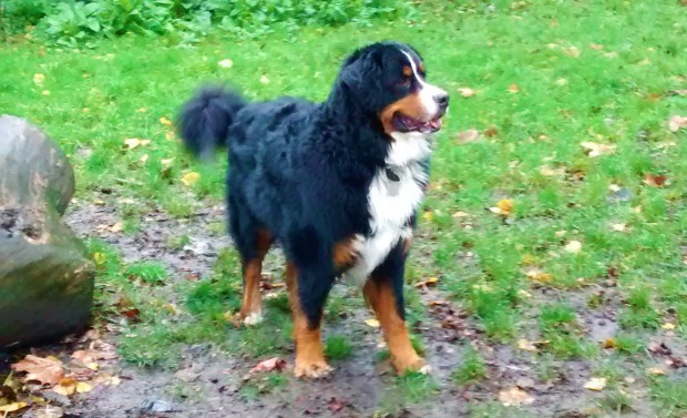 Winston, our Bernese Mountain Dog, for his dog Walking