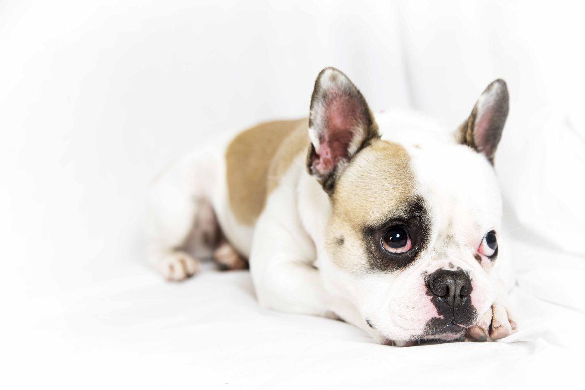 French Bulldog posing