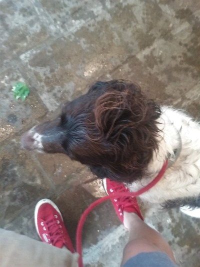 Freddie, our English Springer Spaniel, for his dog Walking!