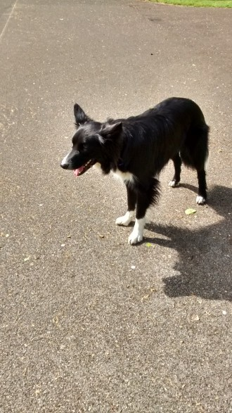 Chester, our Border Collie, outdoors during his dog Stay-and-Care boarding