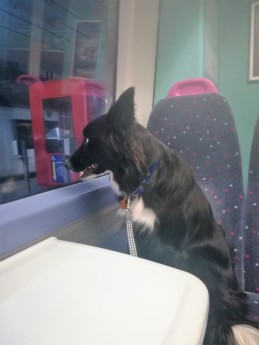 Chester, our Border Collie, on the train during his dog Stay-and-Care boarding
