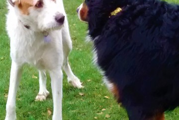Winston, our Bernese Mountain Dog