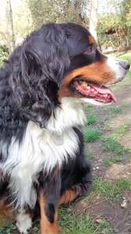 A portrait of Winston, our handsome Bernese Mountain Dog, during his dog Walking