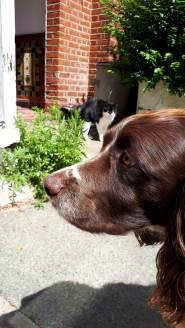 Freddie, our English Springer Spaniel, during his dog Walking