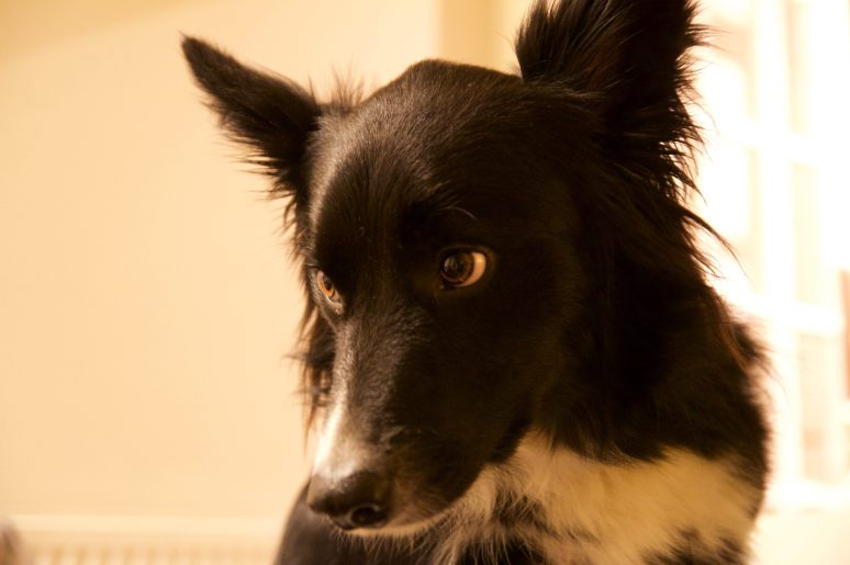 Chester, our Border Collie, posing during his dog Stay-and-Care boarding