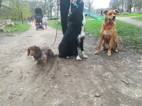 Rupert, the Miniature long-haired Dachshund, Chester, the Border Collie, and Georgie, the rescued crossbreed Golden Retriever/Labrador, during their fun dog Walking in London with EmmanuelleChaix